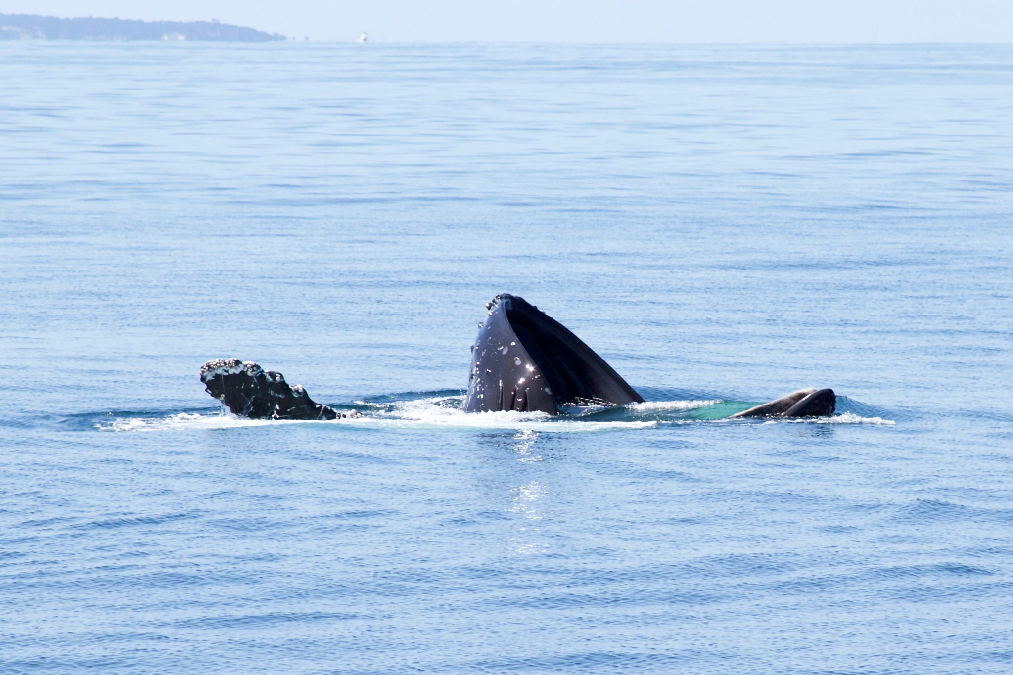 Whale Watching for Every Season in Monterey Bay. Photo by Jamie Balaoro // The Golden Bullet Magazine